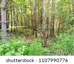 dense deciduous forest. summer. | Shutterstock . vector #1107990776