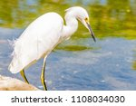 the great egret  great white... | Shutterstock . vector #1108034030