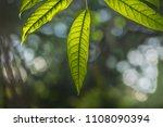 green leaves call cheria...   Shutterstock . vector #1108090394