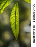 green leaves call cheria...   Shutterstock . vector #1108090400