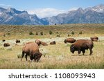 Buffalo Grazing - Yellowstone Bison - National Park Wyoming