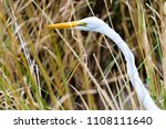 Close Up Of A White Long Necked ...