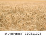wheat field illuminated by rays ... | Shutterstock . vector #110811326