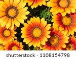 Flower Of Gazania