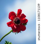 red anemone flower | Shutterstock . vector #1108171139