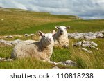 Sitting Sheep  Malham Cove ...