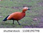 ruddy shelduck  tadorna... | Shutterstock . vector #1108190798