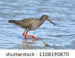 common redshank  tringa totanus ... | Shutterstock . vector #1108190870