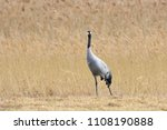 common crane  grus grus   on... | Shutterstock . vector #1108190888