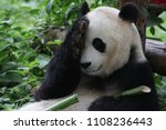 fluffy giant panda in beijing ... | Shutterstock . vector #1108236443