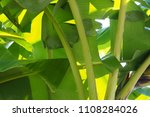 banana leaf green tropical... | Shutterstock . vector #1108284026
