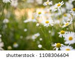 chamomile flowers in beautiful...   Shutterstock . vector #1108306604