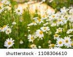 beautiful white yellow...   Shutterstock . vector #1108306610