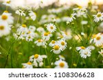 chamomile or camomile flowers....   Shutterstock . vector #1108306628