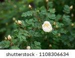 flowering roses in the summer...   Shutterstock . vector #1108306634