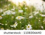 white chamomiles on green sunny ...   Shutterstock . vector #1108306640