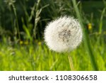 dandelion flower white smooth...   Shutterstock . vector #1108306658