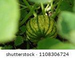 home grown organic pumpkin on...   Shutterstock . vector #1108306724