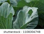 soft cabbage organic vegetable...   Shutterstock . vector #1108306748