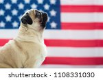 Stock photo pug on the background of the american flag beautiful beige puppy pug on the background of the 1108331030