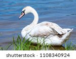 young swan on blue lake water... | Shutterstock . vector #1108340924