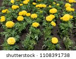 blossoming yellow mexican... | Shutterstock . vector #1108391738
