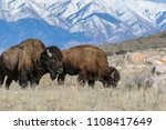 Two Bison Foraging For Food In...