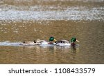 Three Duck All In A Row...