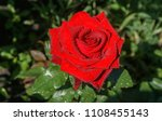 rose red  blooming red rose...   Shutterstock . vector #1108455143