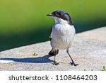 fiscal flycatcher bird standing | Shutterstock . vector #1108464203