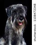 mittelschnauzer dog  isolated ... | Shutterstock . vector #1108472348