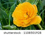 one yellow terry tulip on a... | Shutterstock . vector #1108501928