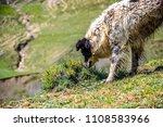 A Shepherd Dog Smells Bushes In ...
