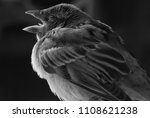 a juvenile house sparrow with... | Shutterstock . vector #1108621238