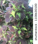 Small photo of Unique black and green plant from the coleus family