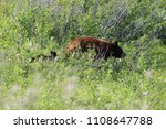 Small photo of Mama bear and cub in meadow