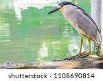 black crowned night heron or... | Shutterstock . vector #1108690814