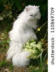 White Chinchilla Cat Sitting...