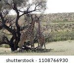 south african giraffe wedding... | Shutterstock . vector #1108766930