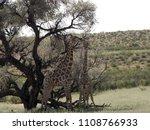 south african giraffe wedding... | Shutterstock . vector #1108766933