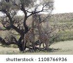 south african giraffe wedding... | Shutterstock . vector #1108766936
