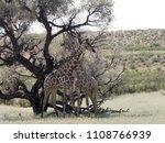 south african giraffe wedding... | Shutterstock . vector #1108766939