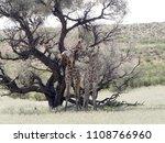 south african giraffe wedding... | Shutterstock . vector #1108766960