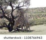 south african giraffe wedding... | Shutterstock . vector #1108766963