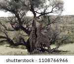 south african giraffe wedding... | Shutterstock . vector #1108766966