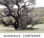 south african giraffe wedding... | Shutterstock . vector #1108766969