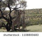 south african giraffe wedding... | Shutterstock . vector #1108800683