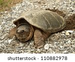 Common Snapping Turtle ...