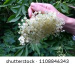 Close up of male hand picking elderflower head from bush foraging from English hedgerow in the countryside in Summer to gather flowers for home made champagne and cordial drink with leaves background