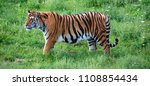 tiger close up  the tiger ...   Shutterstock . vector #1108854434